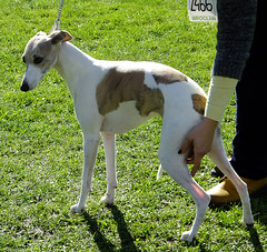 hound(0.0), saluki(0.0), dog sports(1.0), animal sports(1.0), animal(1.0), magyar agã¡r(1.0), dog(1.0), polish greyhound(1.0), whippet(1.0), galgo espaã±ol(1.0), sloughi(1.0), sports(1.0), pet(1.0), mammal(1.0), italian greyhound(1.0), greyhound(1.0),