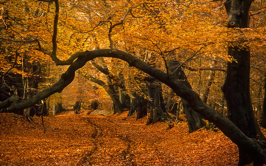 Lady's Walk, Ashridge Forest, Hertfordshire, England | Late Autumn Views (1 of 9)
