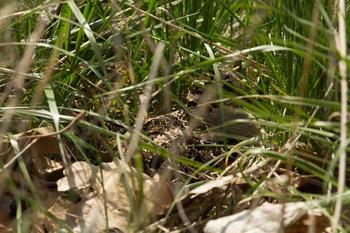 Nesting American Woodcock