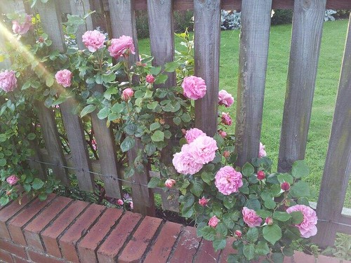 An old pic of my Roses in bloom