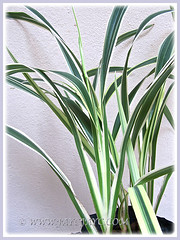 Beautiful foliage of Dianella ensifolia 'White Variegated' (Umbrella Dracaena, Flax Lily, Sword Leaf Dianella), March 14 2015