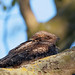 © All rights reserved. Ottenby,Nightjar (Caprimulgus europaeus)