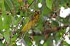 นกกระติ๊ดใหญ่ปีกลาย / Spot-winged Gosbeak / Mycerobas melanozanthos