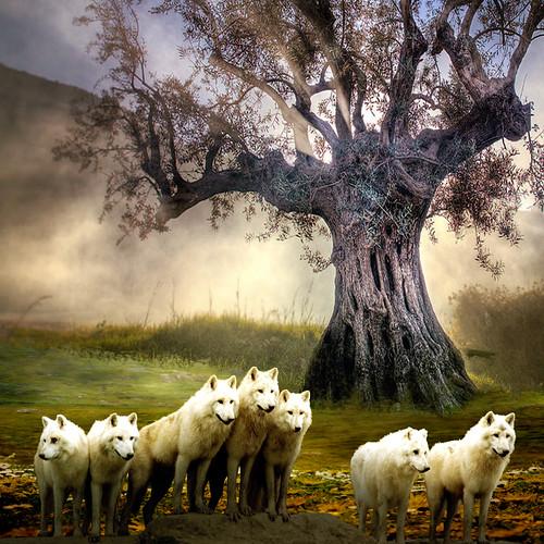 White wolves