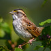 White-throated Sparrow (tan-striped) by jt893x