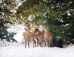 Snow Deer Family