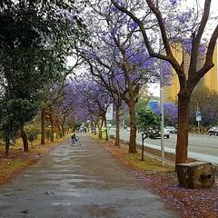 Lovely in springtime # jacaranda #purple  #violet #spring #shortrains #everydaynairobi #floweringtrees #Africa #Kenya