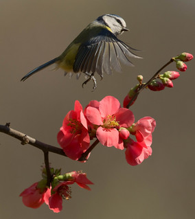 Blue Tit flying