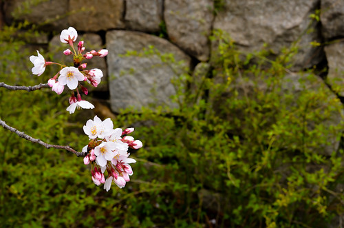 Sakura at Osaka Castle Park by hyossie