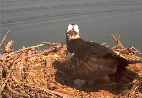 Osprey with first egg April 8, 2012