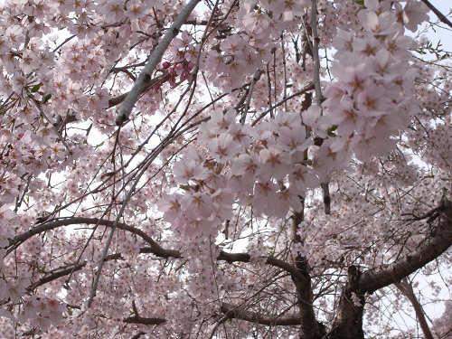 しだれ桜2012@氷室神社-06