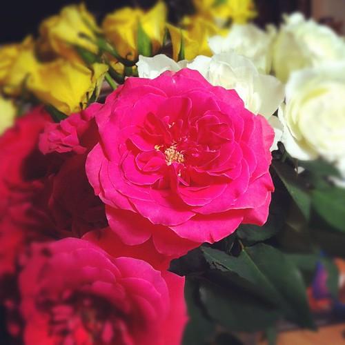 薔薇の花、開いてきた。