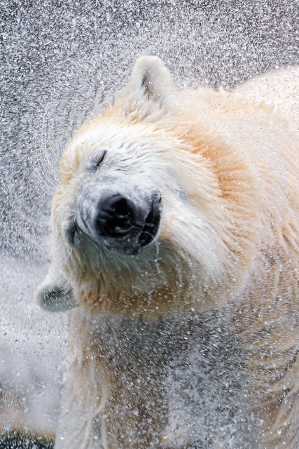 Shaking polar bear IV
