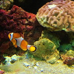coral reef, animal, anemone fish, coral, fish, coral reef fish, organism, marine biology, invertebrate, stony coral, fauna, freshwater aquarium, underwater, reef,