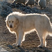 Pyrenean Mountain Dog by koalie