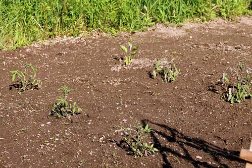 Tomatoes & Eggplant