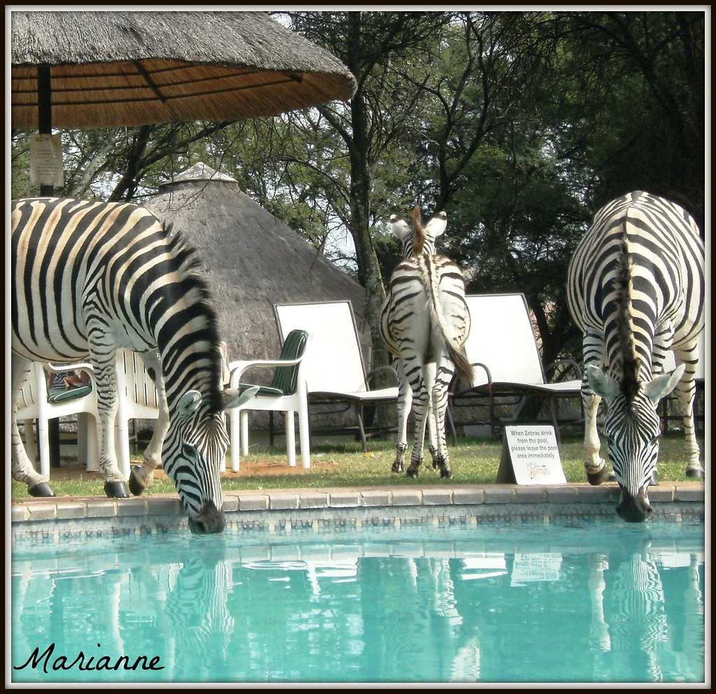 When Zebras drink from the pool ..........