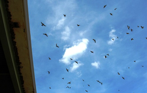 Barn swallow swarm
