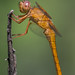 neon skimmer (explored 6/12/2013) by robert salinas