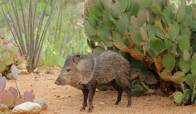 Collared Peccary, a.k.a.