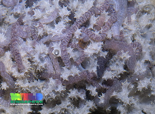 Synaptid sea cucumbers on a sponge