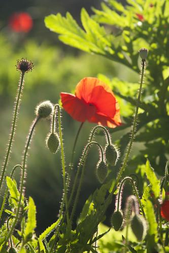 SFBG poppies 5