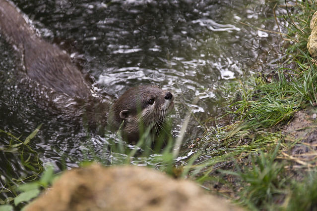 zoo parc de thoiry oriental small clawed otter flickr photo sharing. Black Bedroom Furniture Sets. Home Design Ideas