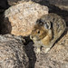 Small photo of American Pika