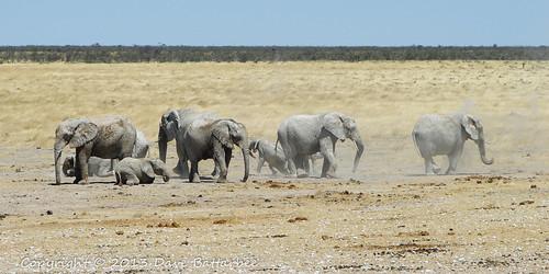Elephants 'Dusting'