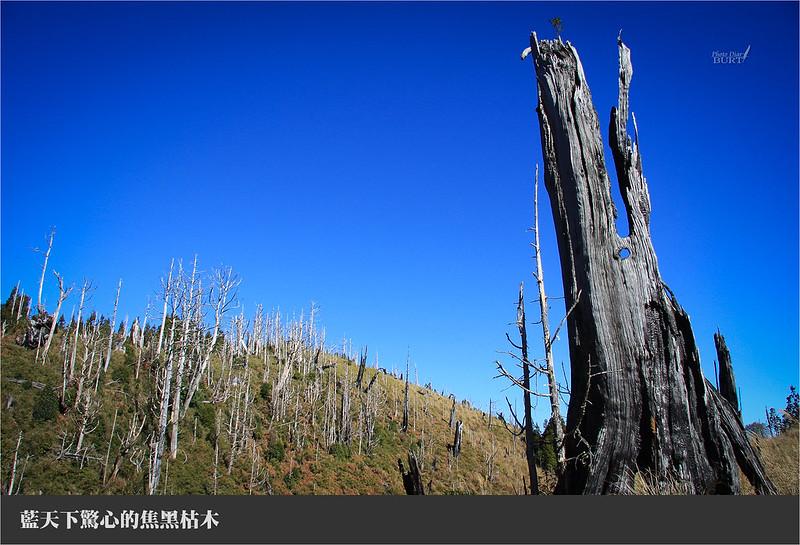 藍天驚心的焦黑枯木