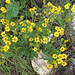 Marsh Ragwort - Photo (c) nz_willowherb, some rights reserved (CC BY-NC)