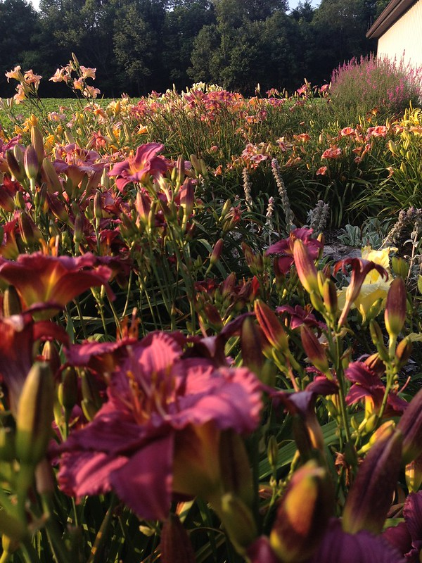 Another Glimpse Of The Daylily Garden.