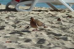 Tourterelle à queue carrée sur la plage de la Caravelle à Sainte-Anne