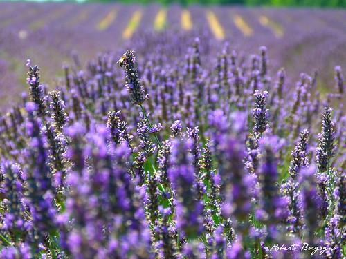 nature agosto fiori viola francia lilla provenza lavanda valensole blinkagain flickrandroidapp:filter=none