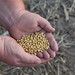 Small photo of Whole Soybeans in Hands