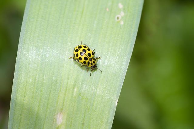 208: 22-spot Ladybird