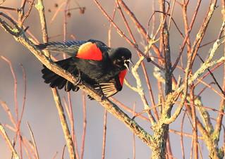 Red-winged Blackbird (Agelaius phoeniceus) RWBL