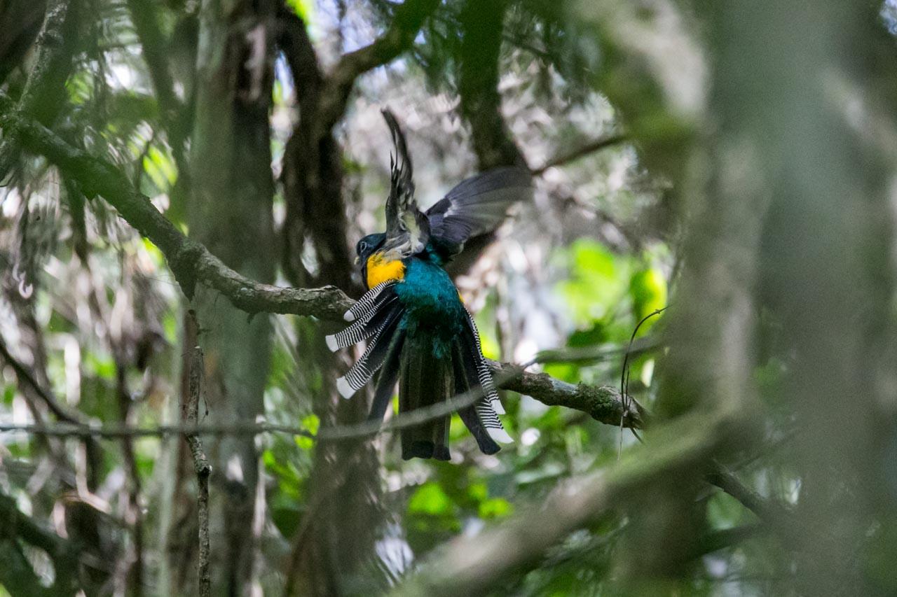 Un surucuá se apresta a iniciar vuelo y se aprecia el colorido de su plumaje. (Tetsu Espósito)