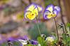 Synchronized Violas…