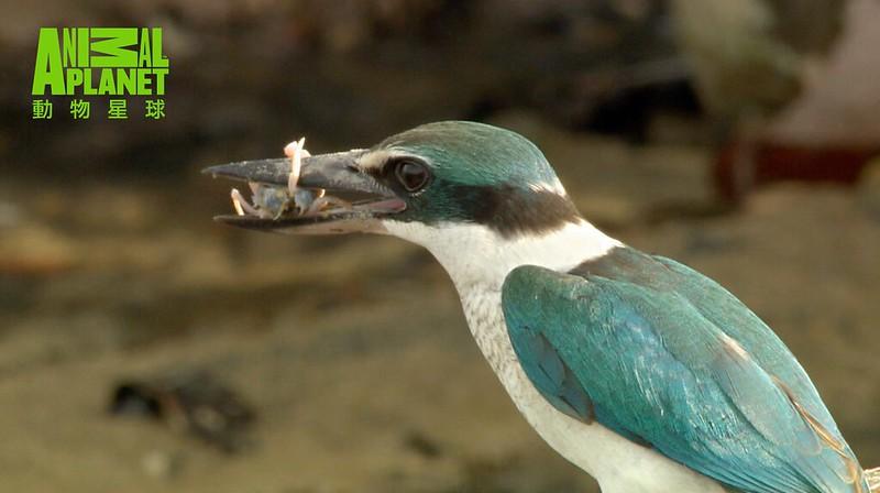 螃蟹在退潮時出來覓食,是鳥兒的天賜美食。(動物星球頻道提供)