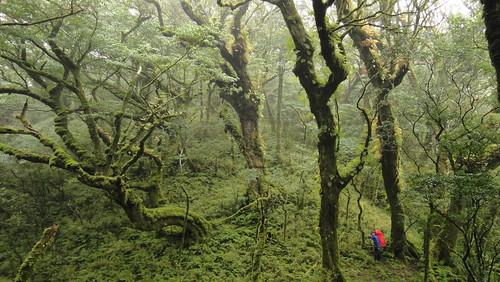 雙鬼湖山區高大的森氏櫟霧林(圖片攝影:徐嘉君)