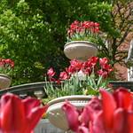 Tulip pots at Miller Park, Preston
