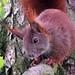 Eichhörnchen (3)