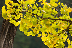 Ginkgo, maidenhair tree