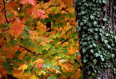"""Cincinnati – Spring Grove Cemetery & Arboretum """"Tree Trunk To Autumn Leaves"""""""
