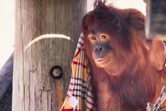 Orangutan with a Blanket