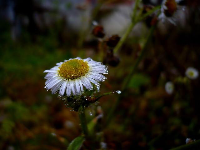 The Flower, Panasonic DMC-LS60
