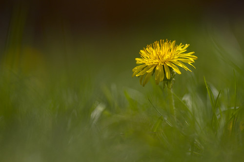 無料写真素材, 花・植物, タンポポ