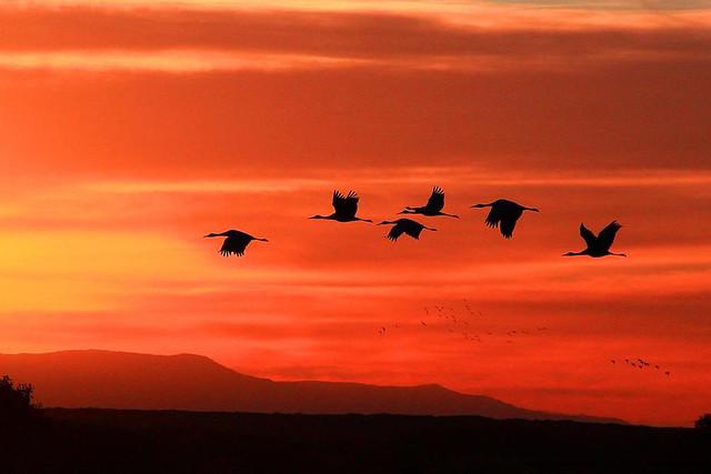 Best Tv Service >> Sandhill Cranes at Sunset | Bosque del Apache National ...