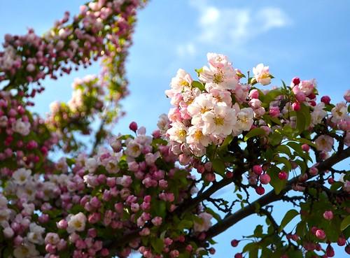 Apr25-Blossom4